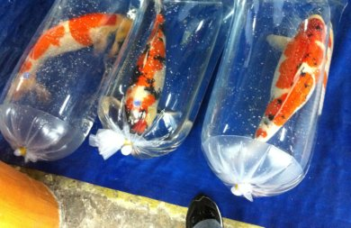 Koi fish facts a point by point rundown for Pet koi fish tank