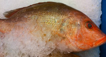 A plush Red Snapper on Ice