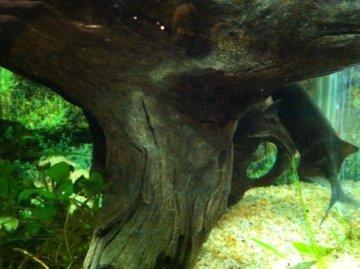 Elephant Nose Fish on Aquaria Klcc Elephantnose Fish On The Right Jpg