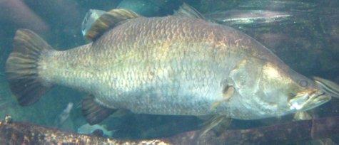 Asian Sea Bass or Barramundi