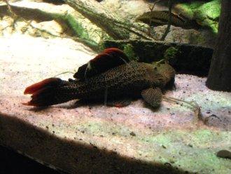 Large Plecostomus Fish at the Baltimore Aquarium