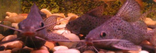 Synodontis Fish